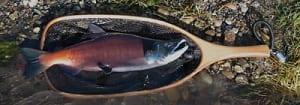 Kokanee salmon run, Gunnison River, Colorado Fishing